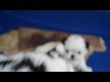 мимишки японские хины